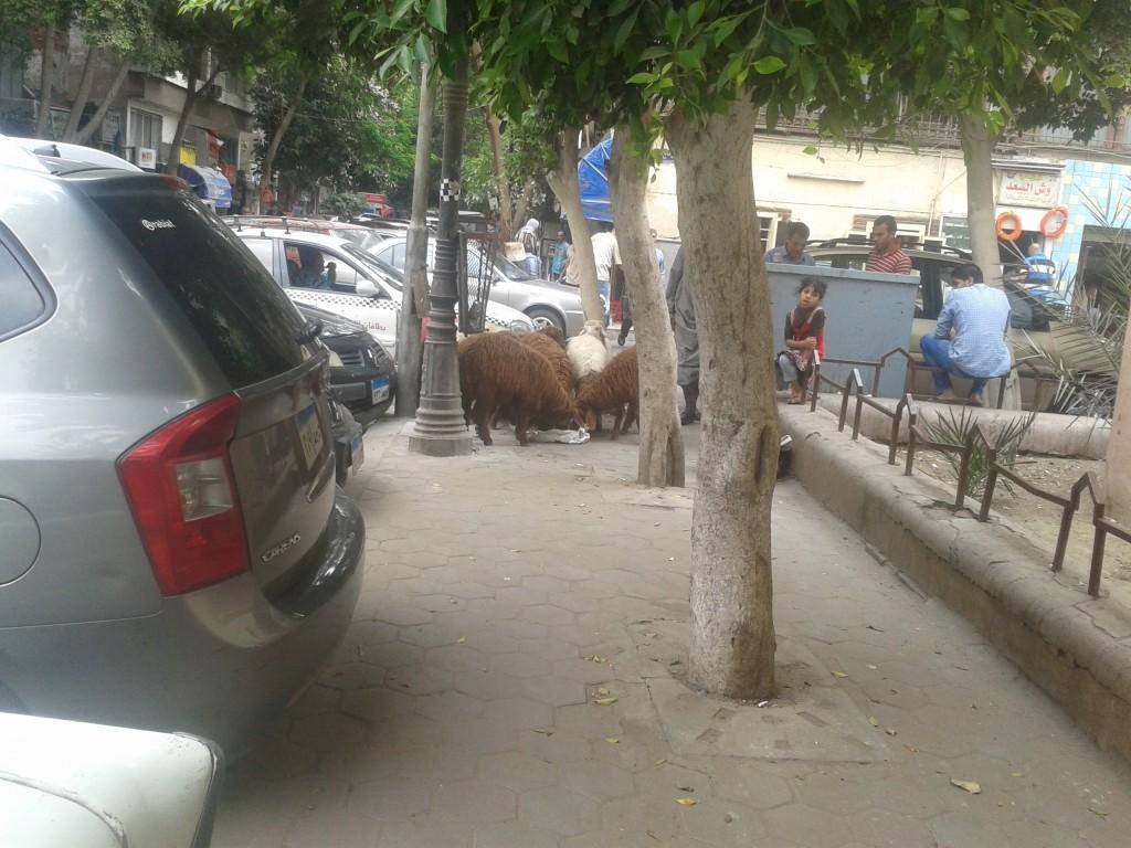 11-sheep on my walk to school